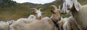 Incontro tra allevatori piemontesi e lombardi nelle Alpi Cozie