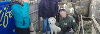 Affidati altri due cani da guardania LIFE WOLFALPS