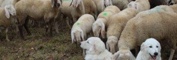 Guardiani in mezzo al gregge: Regione del veneto consegna 8 cani da guardiania