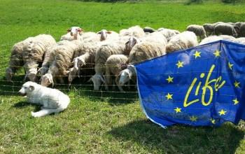 Tranquille pecore, adesso c'è Blum: consegnato cane da difesa a Paroldo